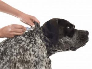 Auch für Rassehunde ist ein Spot on beim Befall durch Hundeflöhe ein gutes Mittel - Biteling