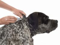 Der Spot on hilft gegen Hundeflöhe und zur Umgebungsbehandlung in der Wohnung - Hundeflöhe bekämpfen