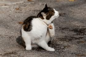 Katzenflöhe suchen sich bei Bedarf auch einen anderen Pelz - Katzenflöhe bekämpfen