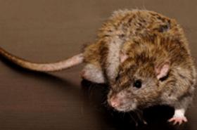 Alles über Rattenflöhe - Biteling